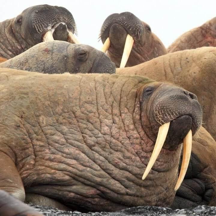 セイウチの海岸/Pacific Walrus Beach|アメリカアラスカ州のライブカメラ映像・観光