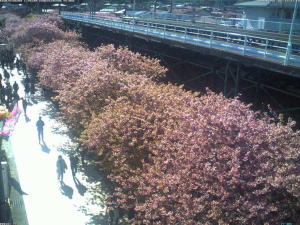 河津駅前桜並木のライブカメラ|静岡県河津町