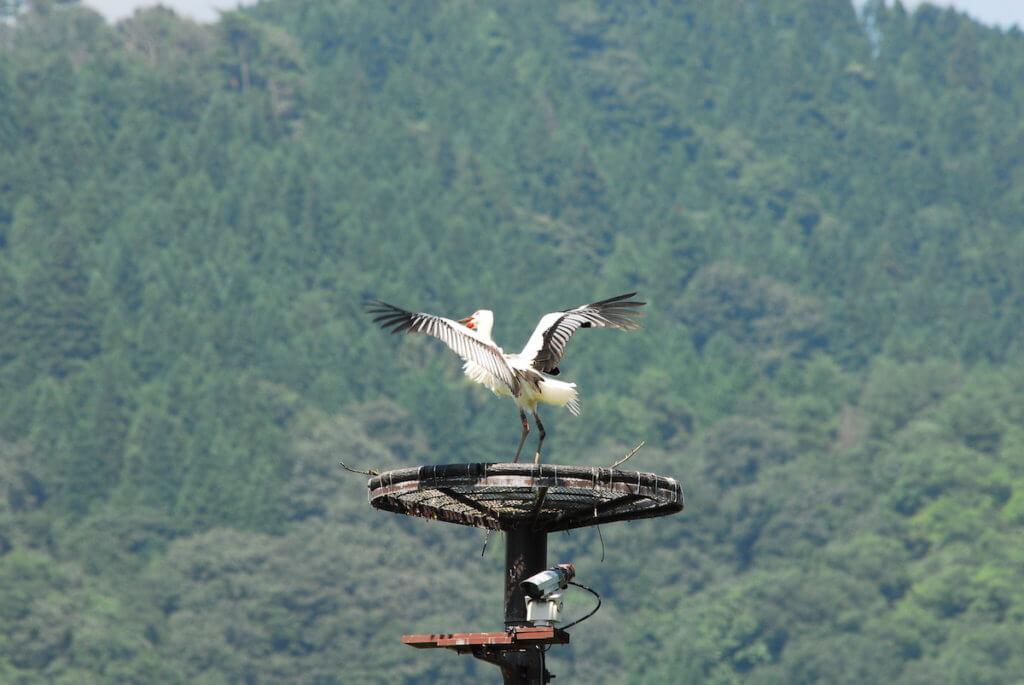 ハチゴロウの戸島湿地(コウノトリ)のライブカメラ|兵庫県豊岡市