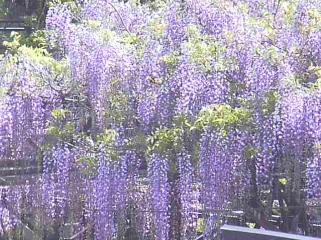 黒木の大藤のライブカメラ 福岡県八女市