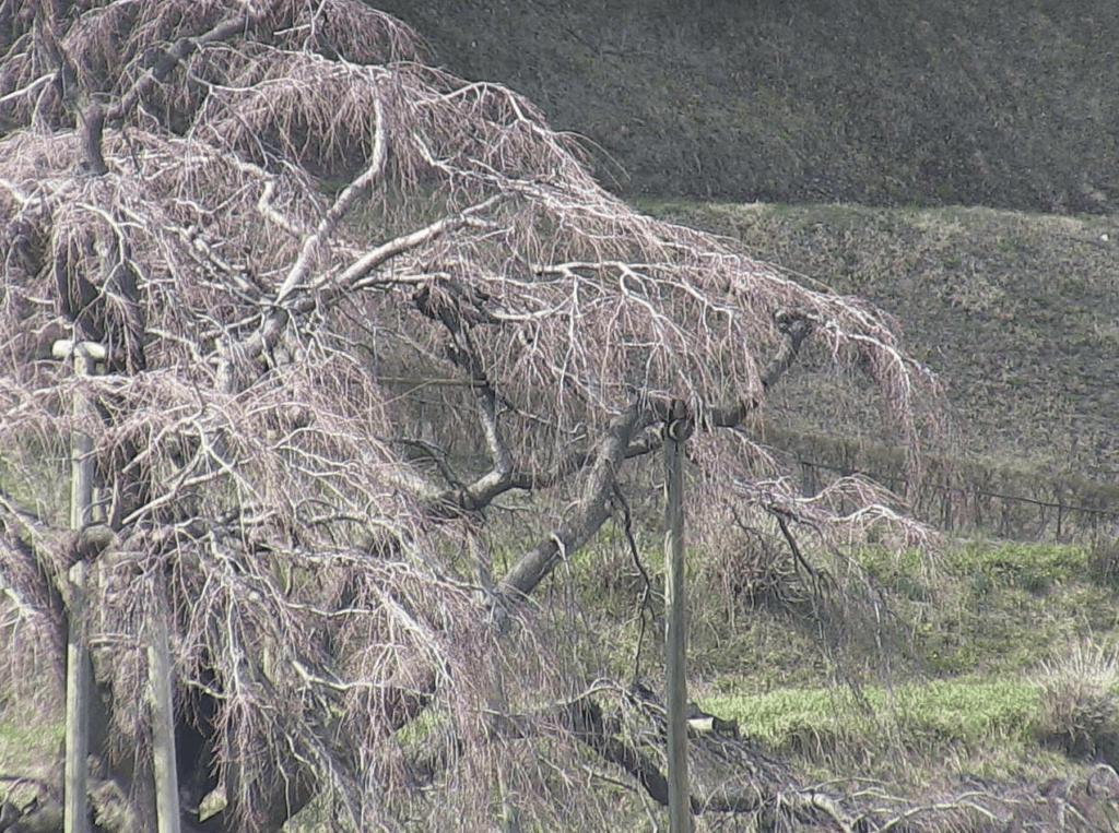 三春滝桜のライブカメラ|福島県三春町