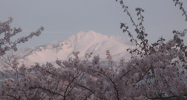 勢至公園のライブカメラ(桜開花状況)|秋田県にかほ市